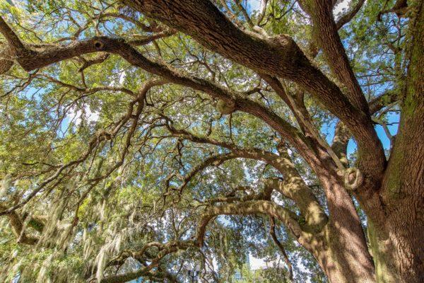 Downtown Orlando Trees
